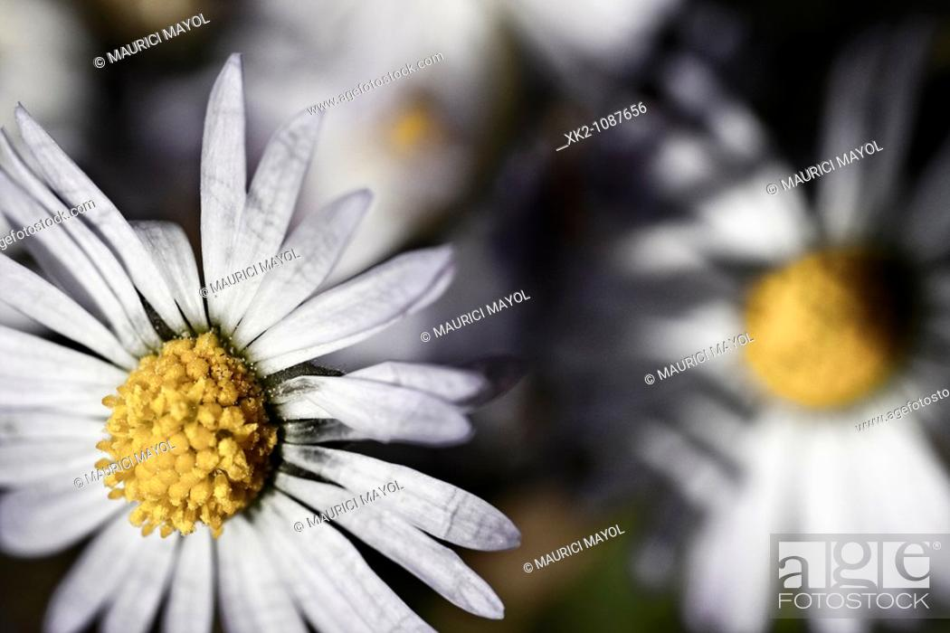 Stock Photo: macro daisy.