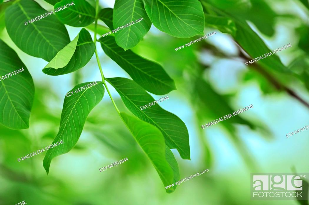 Stock Photo: Walnut Leaves Isolated in garden.