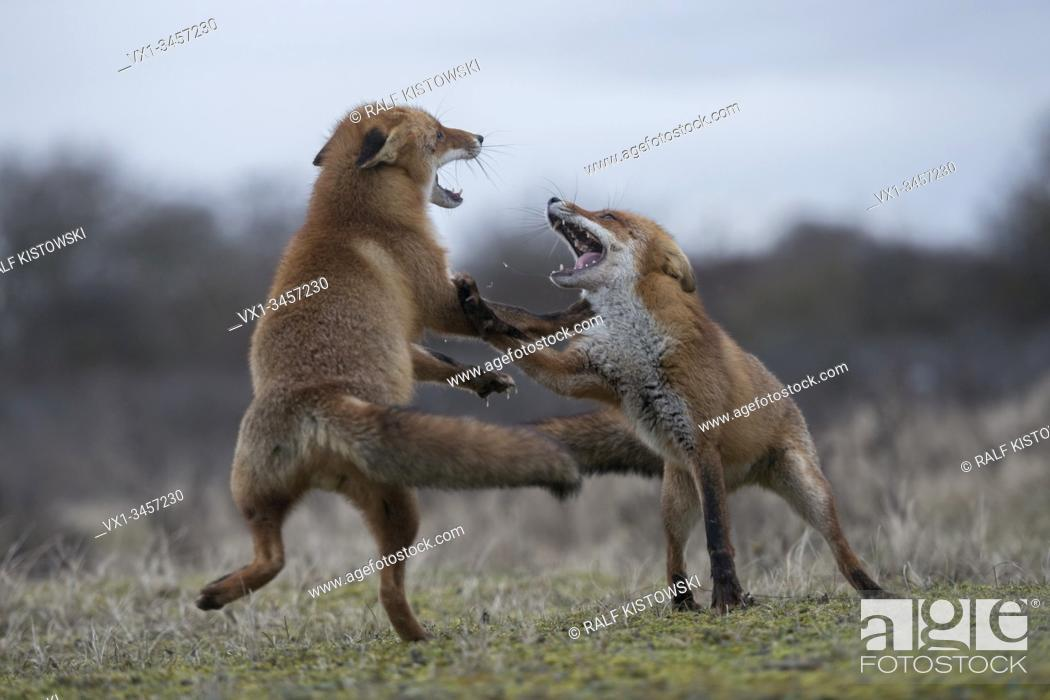 Stock Photo: Red Foxes / Rotfuechse ( Vulpes vulpes ), two adults, in agressive fight, fighting, wide open jaws, attacking each other, rutting season, wildlife, Europe.