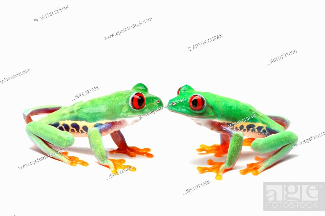 Stock Photo: Two Red-eyed Tree Frogs (Agalychnis callidryas) sitting opposite one another.