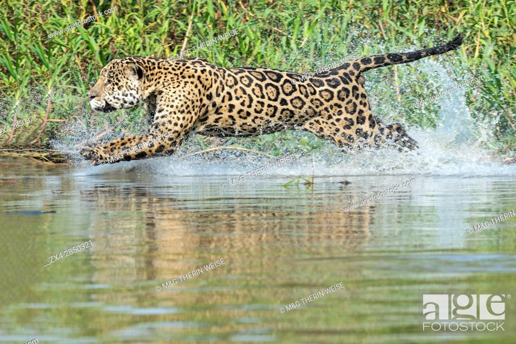 Stock Photo: Male Jaguar (Panthera onca) running in water and chasing, Cuiaba river, Pantanal, Mato Grosso, Brazil.