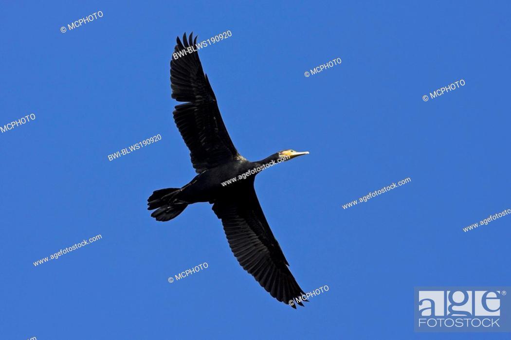 Stock Photo: great cormorant Phalacrocorax carbo, flying, Germany.