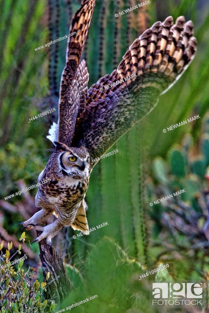 Stock Photo: great horned owl, bubo virginianus,.
