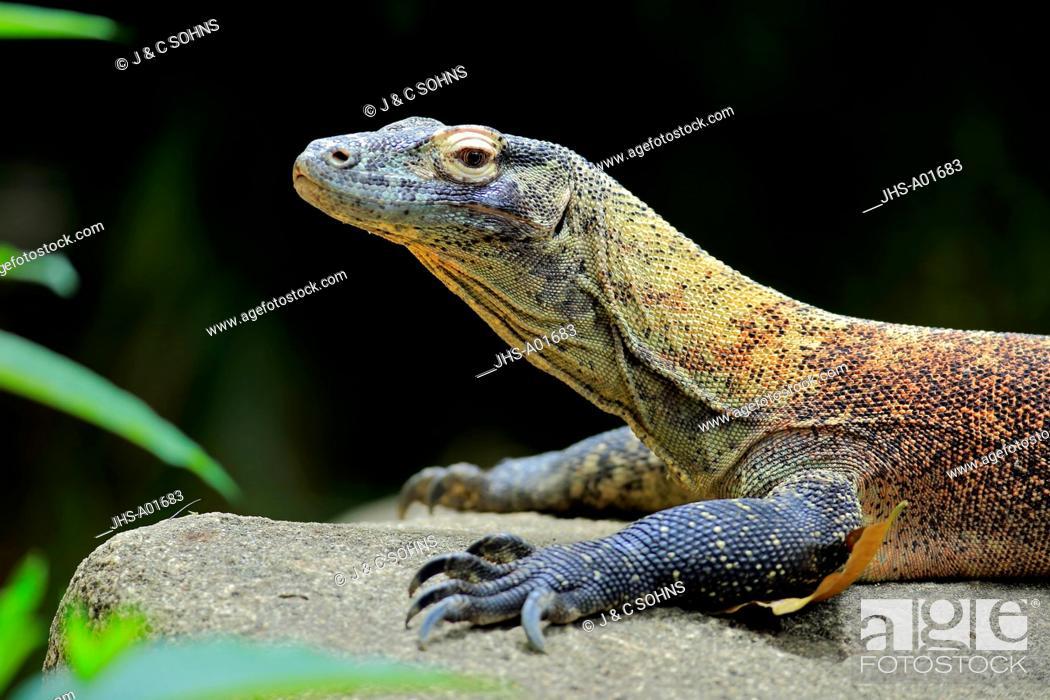 Stock Photo: Komodo Dragon, (Varanus komodoensis), adult on rock portrait, captive, Singapore, Asia.