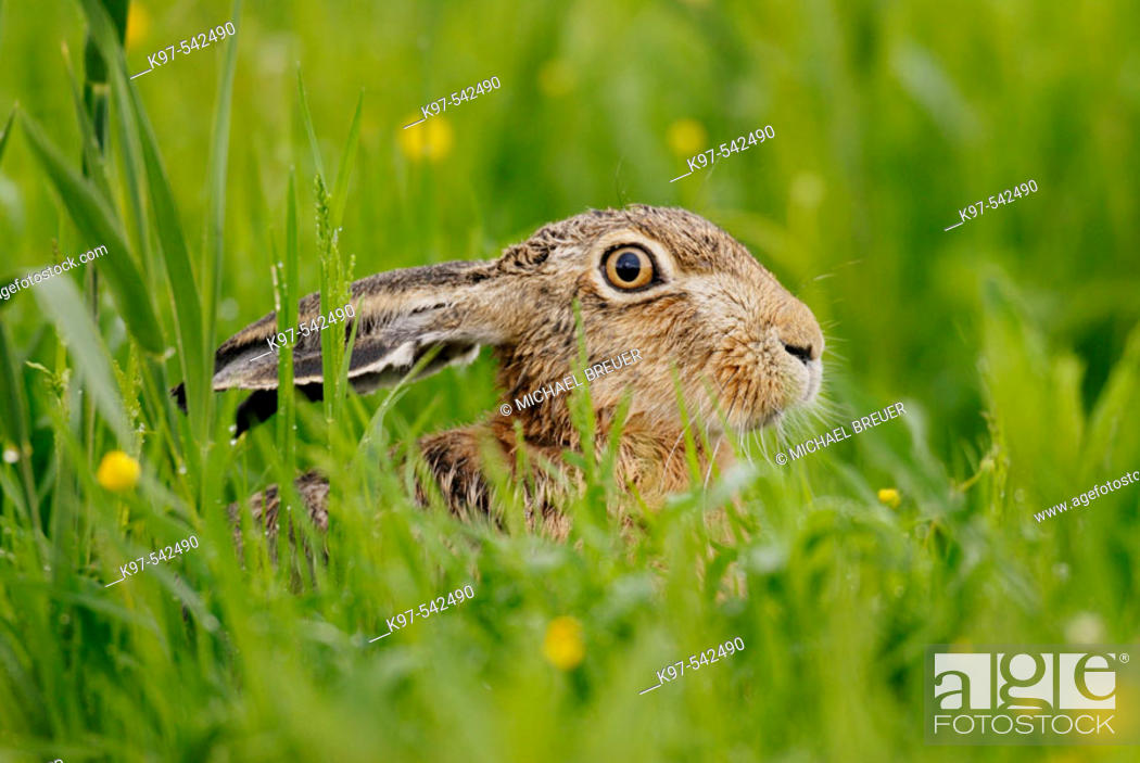 Stock Photo: Hare (Lepus europaeus) in May. Germany.