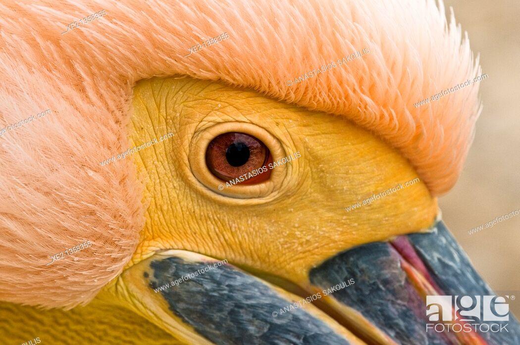 Imagen: White Pelican - Pelecanus onocrotalus, Crete.