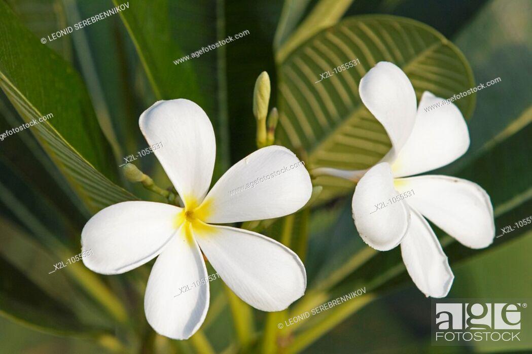 Stock Photo: White frangipani flowers  Scientific name: Plumeria obtusa  Langkawi island, Malaysia.