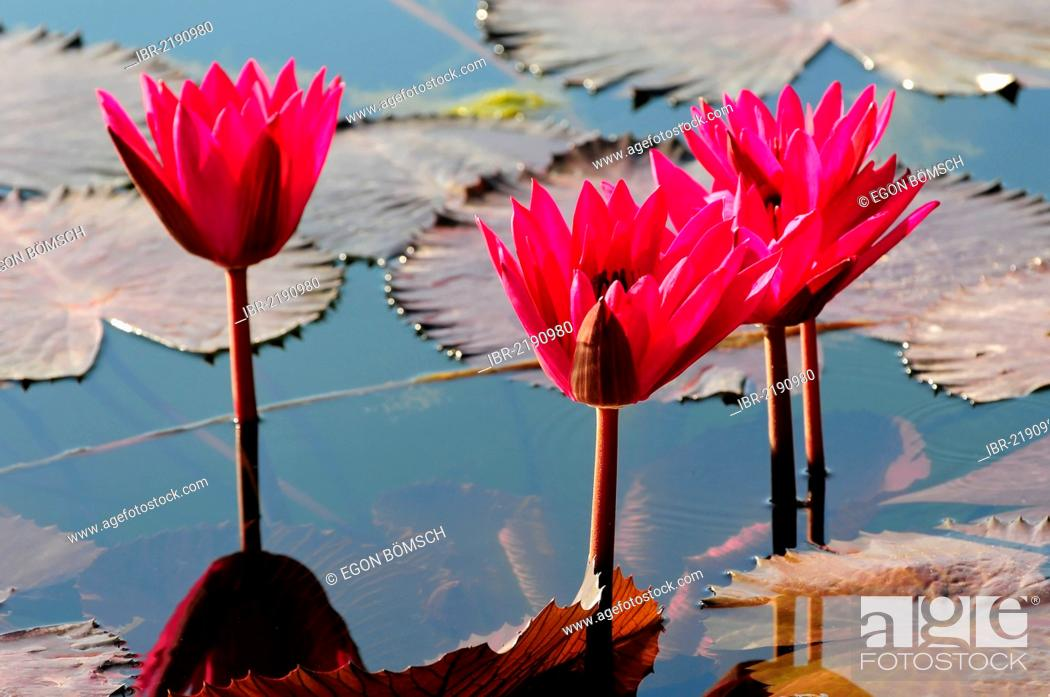 Photo de stock: Water Lilies (Nymphaea), Stuttgart, Baden-Wuerttemberg, Germany, Europe.