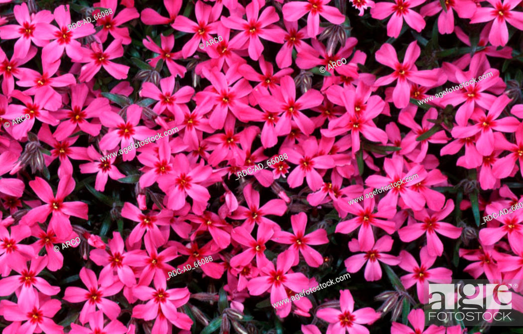 Stock Photo Moss Phlox Scarlet Flame Subulata Thrift Pink Creeping Flowering Polemoniaceae