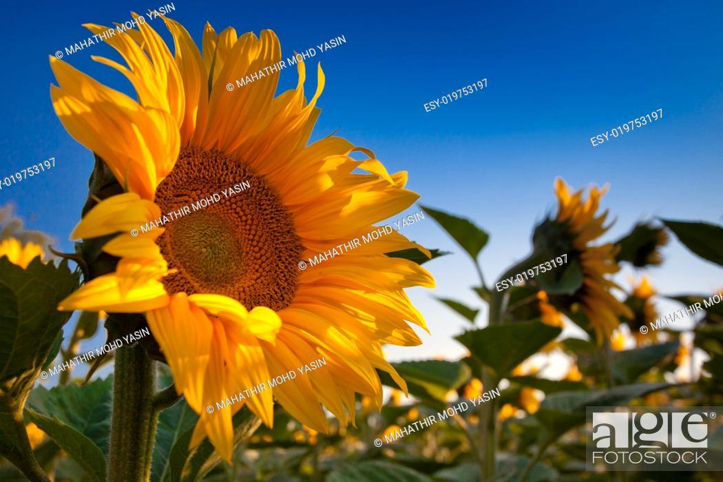 Stock Photo: Sunflower and Sunrise.