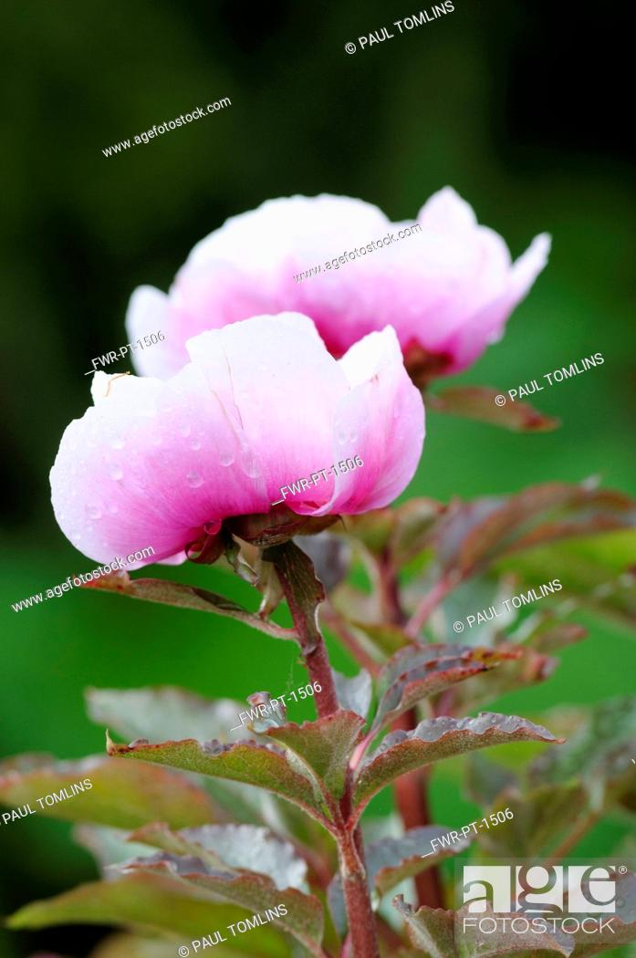 Stock Photo: Peony, Paeonia mascula, Side view of 2 stems with half open deep pink bowl shaped flowers fading to white, Raindrops, Pink tinged foliage.