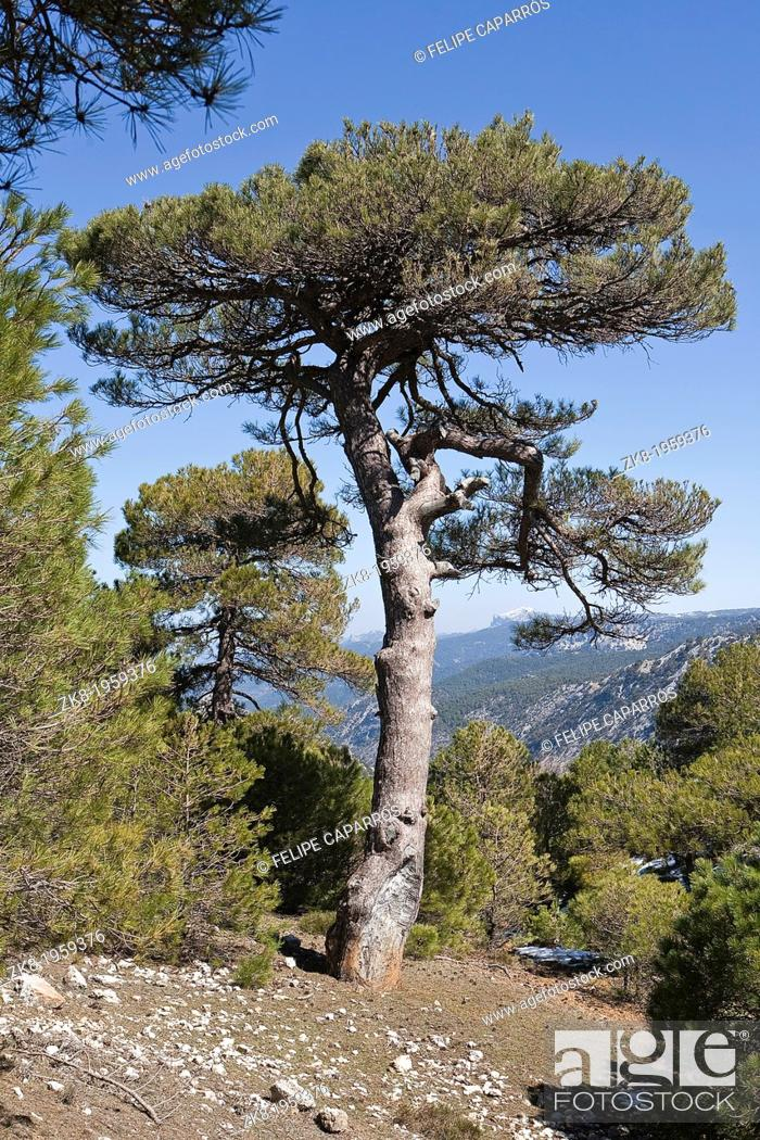 Stock Photo: Pinus halepensis or carrasqueño, original pine from South to West Asia Europe can reach fifteen meters high and seven meters in width, Sierra de Cazorla.