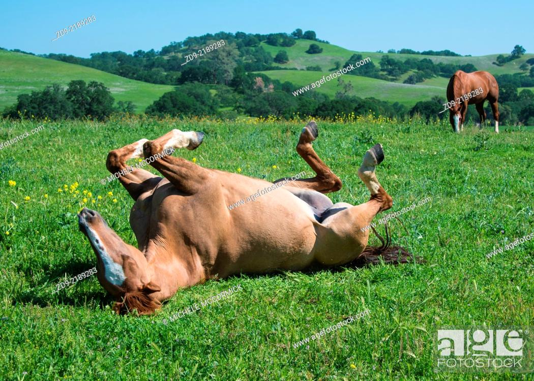 Stock Photo: A horse rolls in the beautiful spring grass.