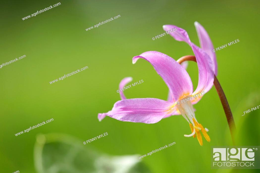 Imagen: Mahogany Fawn lily,.