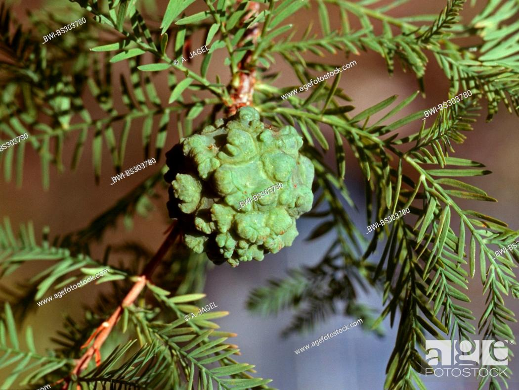 Stock Photo: baldcypress (Taxodium distichum), cone on a branch.