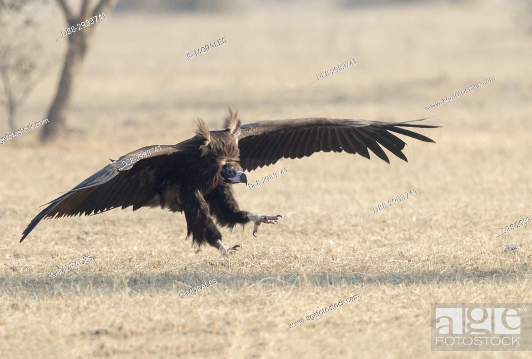 Photo de stock: Asia, India, Rajasthan, Bikaner, Cinereous vulture (Aegypius monachus), on the ground.