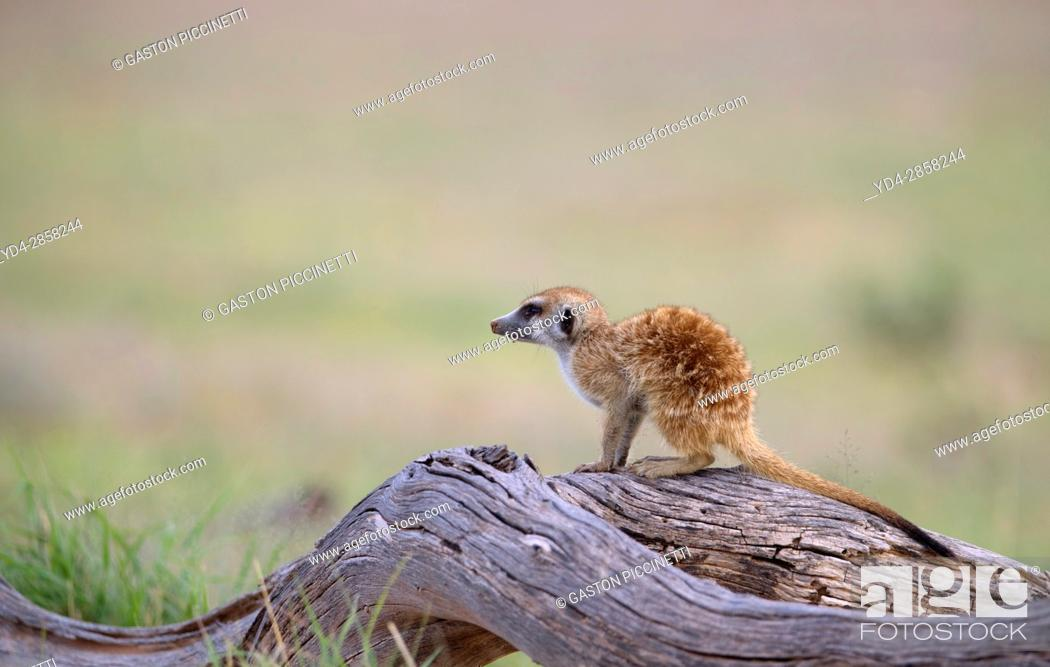 Stock Photo: Suricate (Suricata suricatta), on a wooden log watching. Always alert to the possible attack of a predator. While watching the rest of the group is dedicated to.