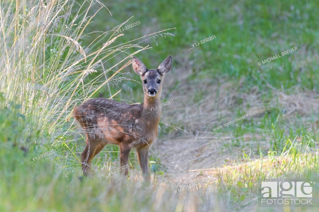 Stock Photo: Western roe deer in meadow, Fawn, Germany, Europe.