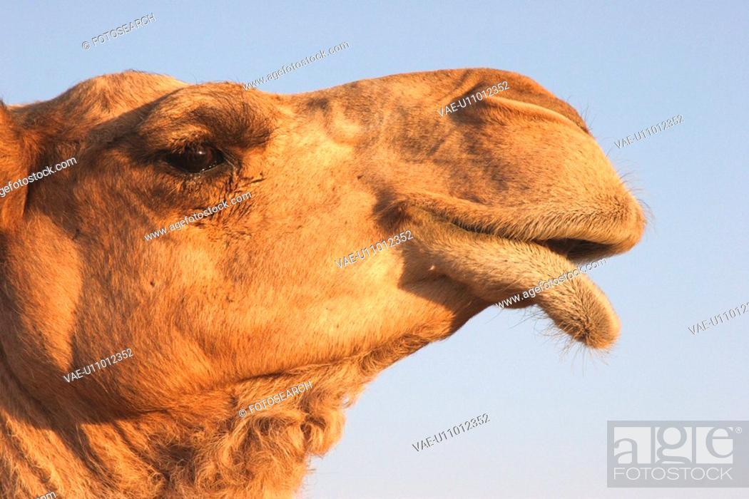 Stock Photo: sand, dubai, desert, uae, emirates, camel, head.