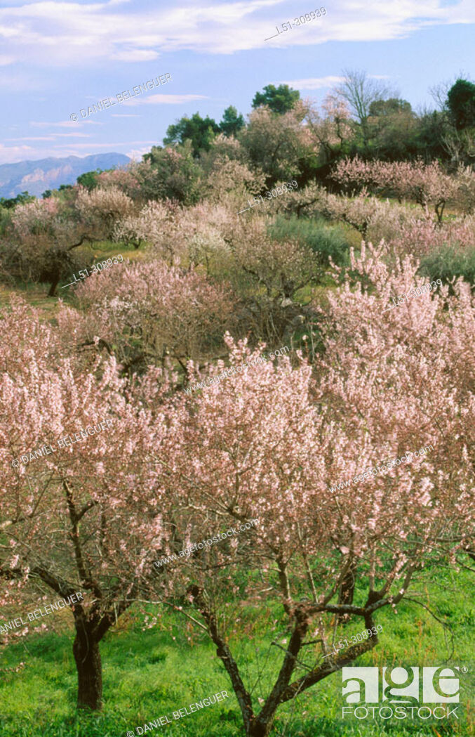 Stock Photo: Almond trees in blossom. Laguar Valley. Alicante province, Spain.