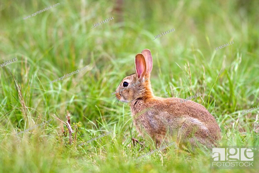 Stock Photo: France, Lot , rabbit Oryctolagus cuniculus.