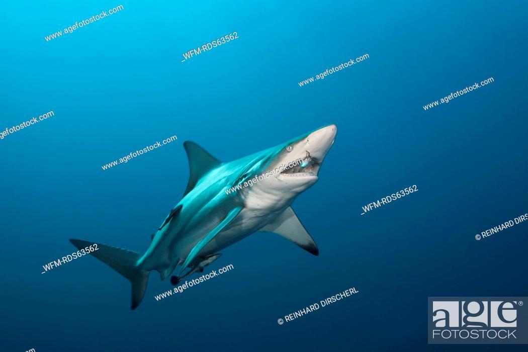 Stock Photo: Blacktip Shark, Carcharhinus limbatus, Aliwal Shoal, Indian Ocean, South Africa.