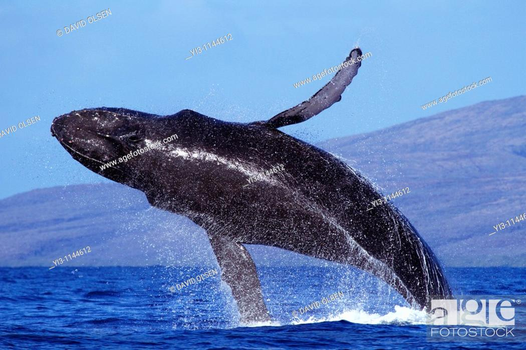 Stock Photo: Humpback whale breaches with Lanai in the background, near Maui, Hawaii.