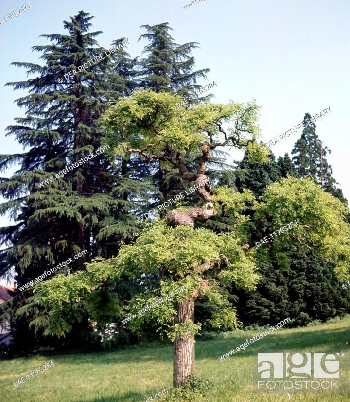 Stock Photo: Pagoda tree (Styphnolobium japonicum o Sophora japonica), Fabaceae-Leguminosae.