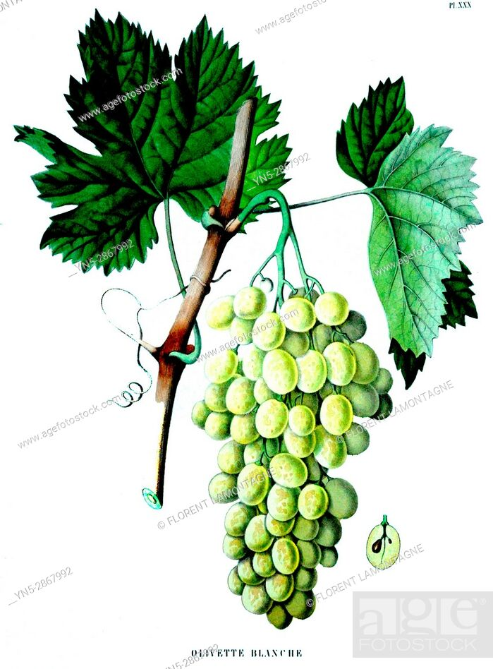 Stock Photo: Old botanical board of the grappe species Olivette blanche.