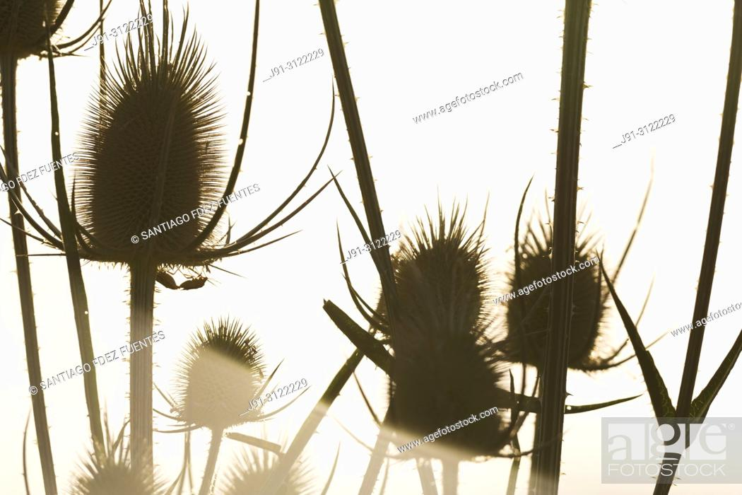 Stock Photo: Cotton thistle (Onopordum acanthium). Spain.