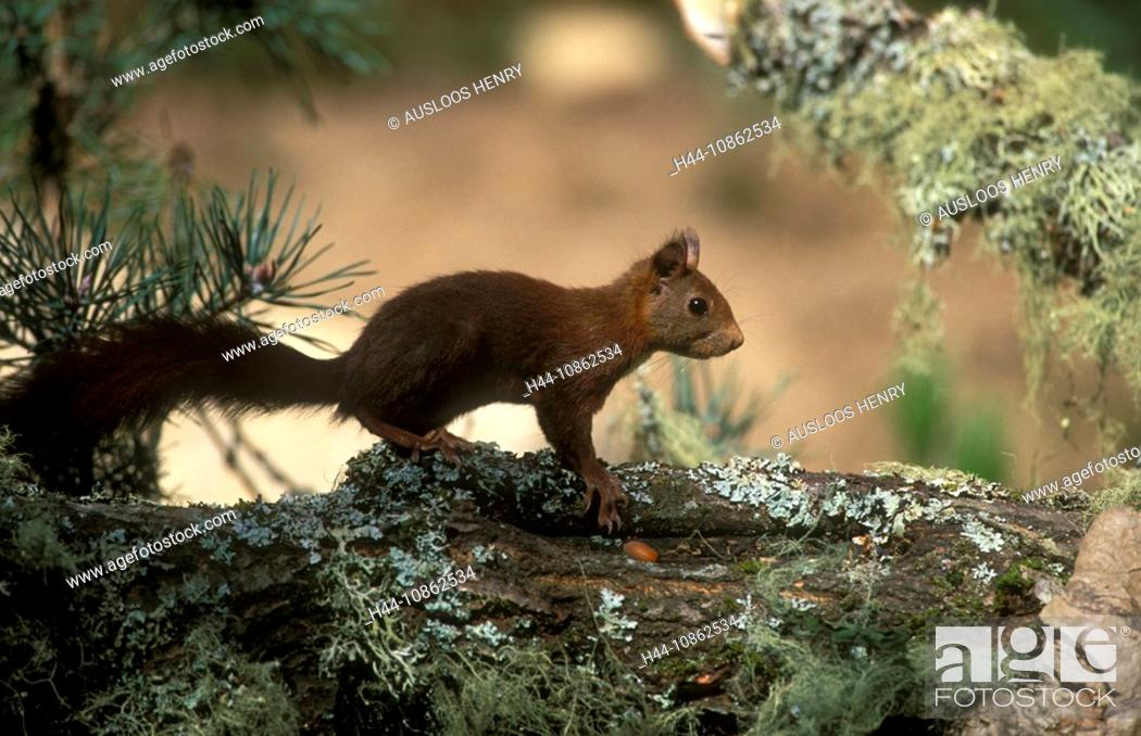 Stock Photo: Eurasian red squirrel, Sciurus vulgaris, Europe, F.