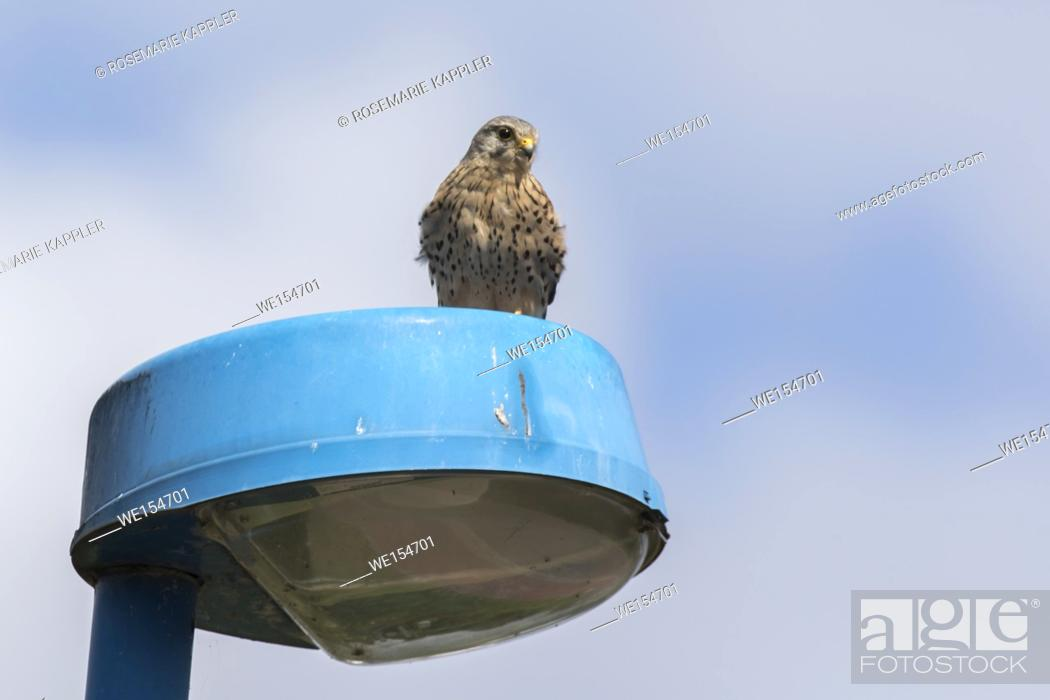 Stock Photo: Germany, Saarland, Bexbach - A common krestel is searching for fodder.