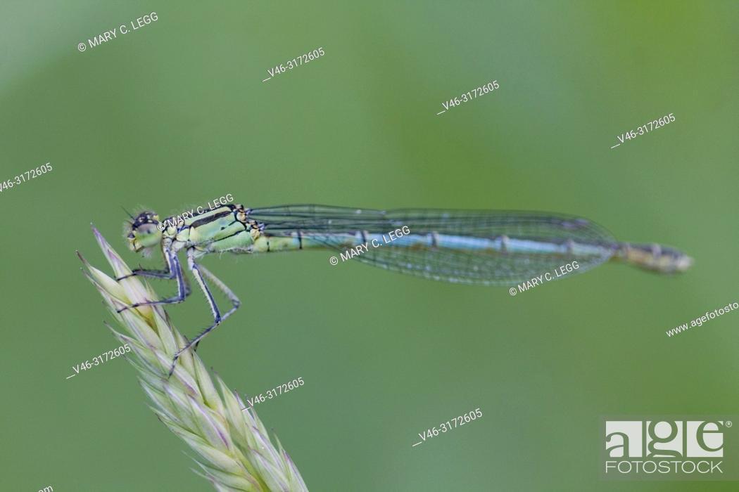 Stock Photo: Female Common Bluet, Enallagma cyathigerum, Common Bluetail.