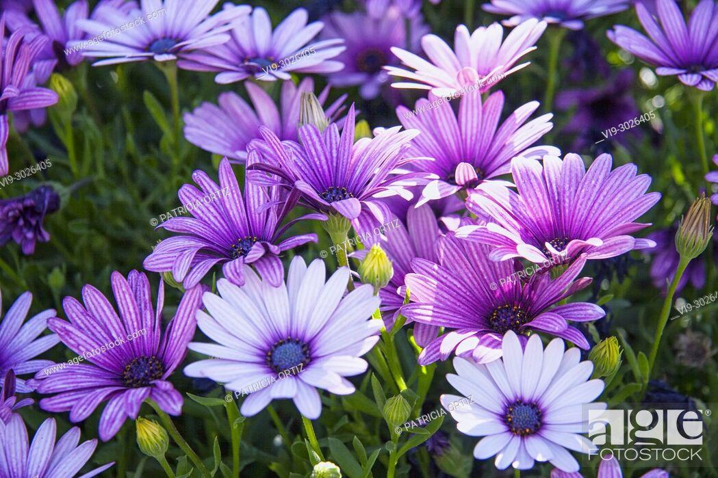 Imagen: Margarita flowers.