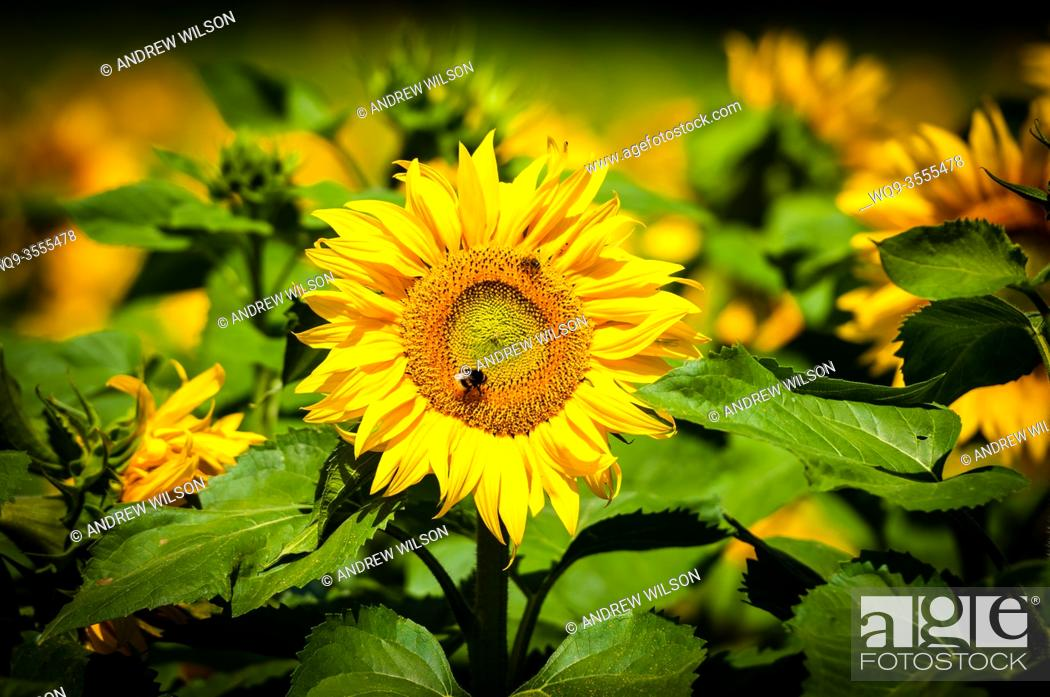 Stock Photo: A field of sunflowers growing within the Brenne National Park, Indre, France.