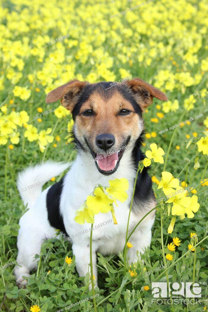 Imagen: Jack Russell Terrier standing amidst yellow flowers. Spain.