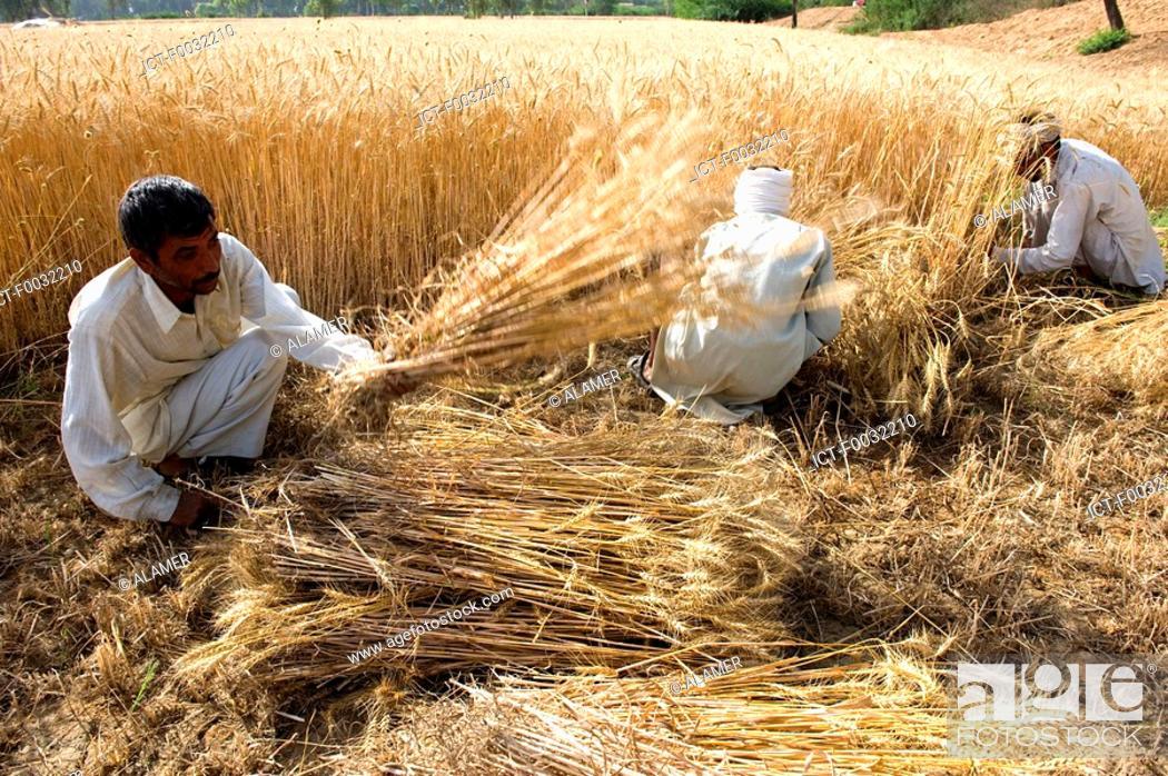 Stock Photo: India, Haryana, harvest of rice.