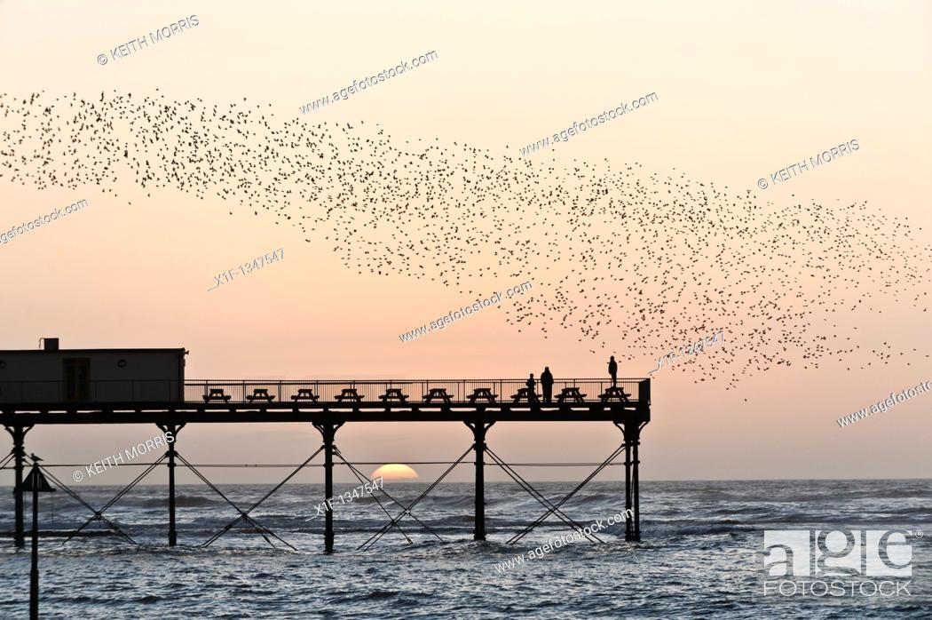Stock Photo: A flock of starlings roosting on Aberystwyth pier at sunset, west wales UK.