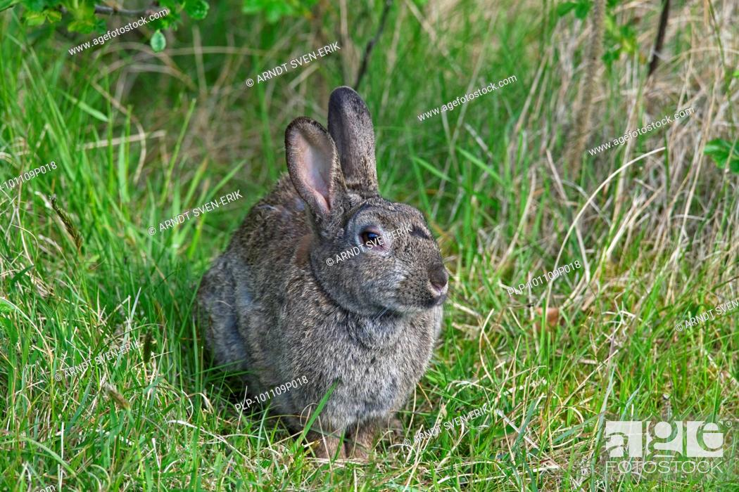 Stock Photo: European rabbit Oryctolagus cuniculus in meadow, Germany.