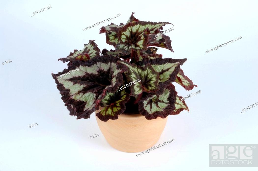 Stock Photo: Worldwide distribution except for United Kingdom and Germany. Begonia.