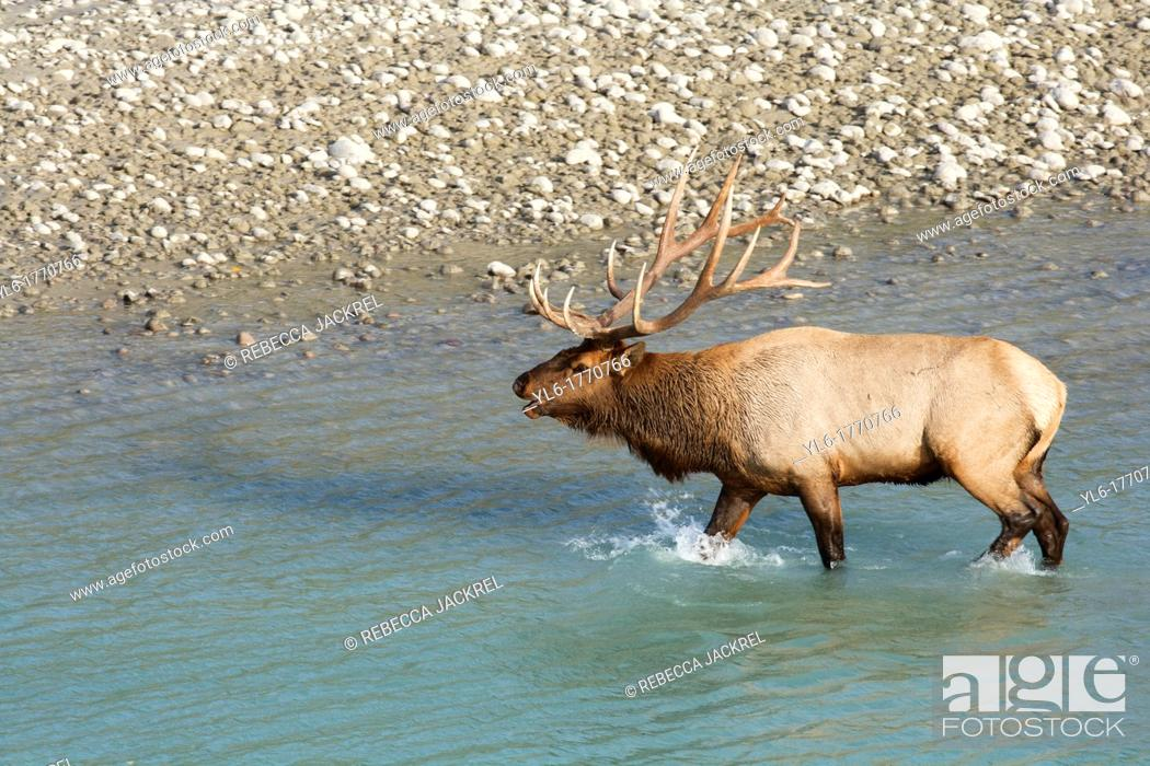 Stock Photo: A bull elk walks from the glacial fed river in Jasper National Park.