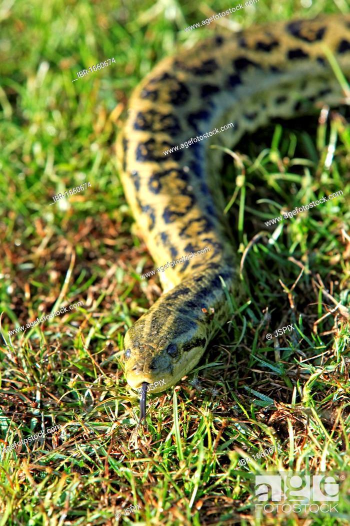Stock Photo: Yellow Anaconda (Eunectes notaeus), Pantanal, Brazil, South America.