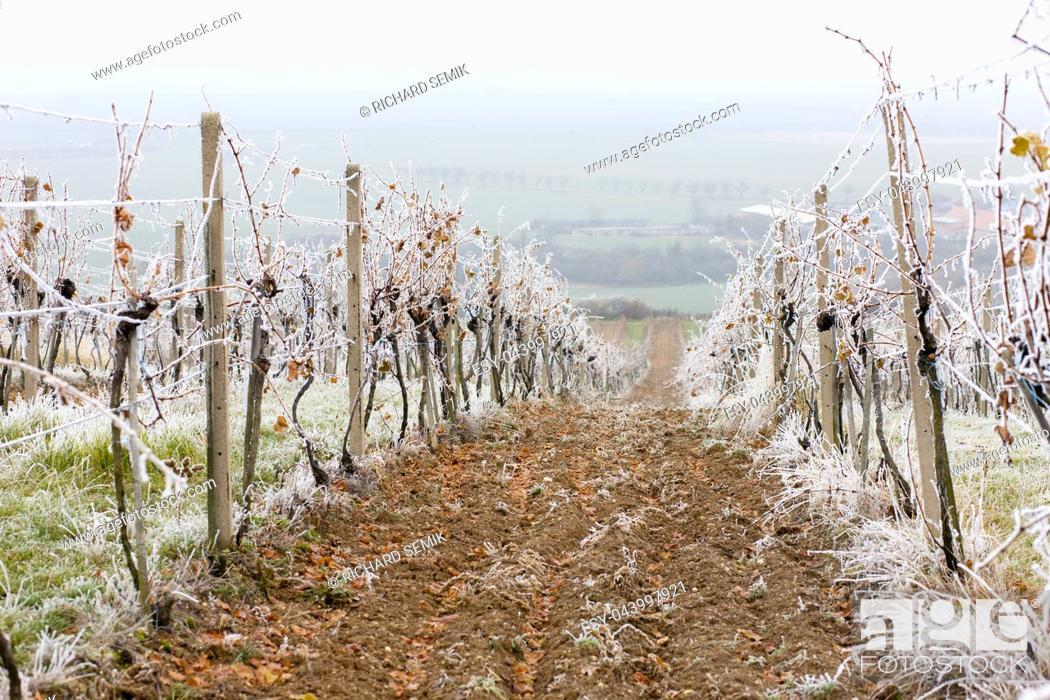 Imagen: vineyards in winter, Znojmo region, Czech Republic.