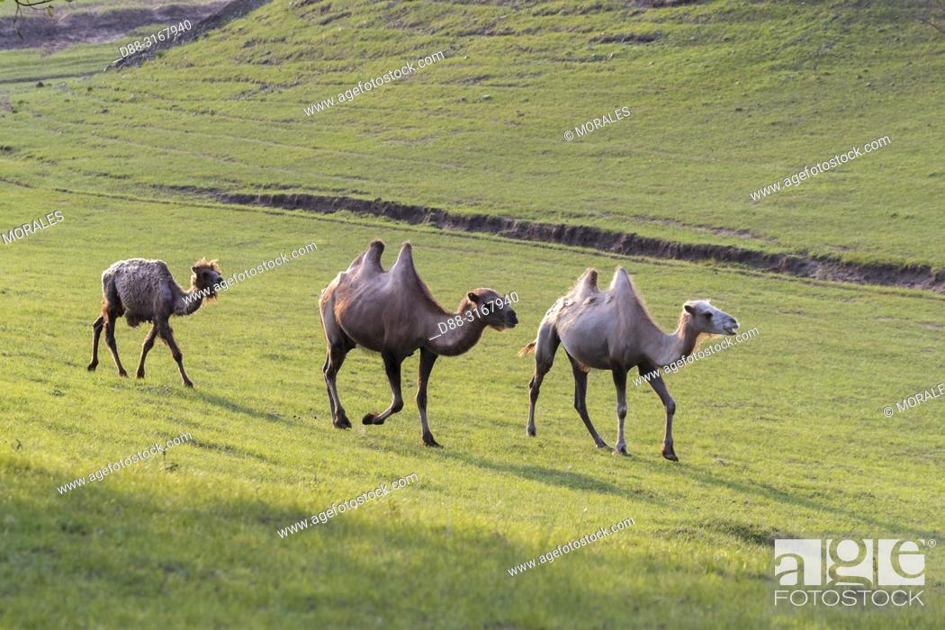 Stock Photo: China, Inner Mongolia, Hebei Province, Zhangjiakou, Bashang Grassland, Bactrian camel (Camelus bactrianus).