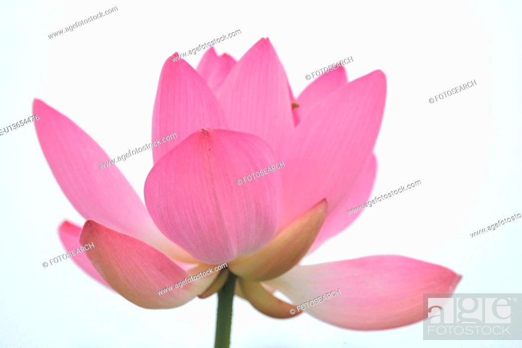 Stock Photo: bloom, plant, flowers, plants, flower, blossom, nature.