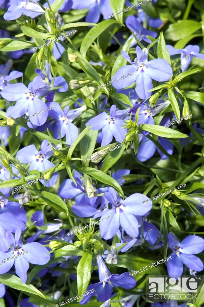 Lobelia Erinus Techno Blue Stock Photo Picture And Rights Managed
