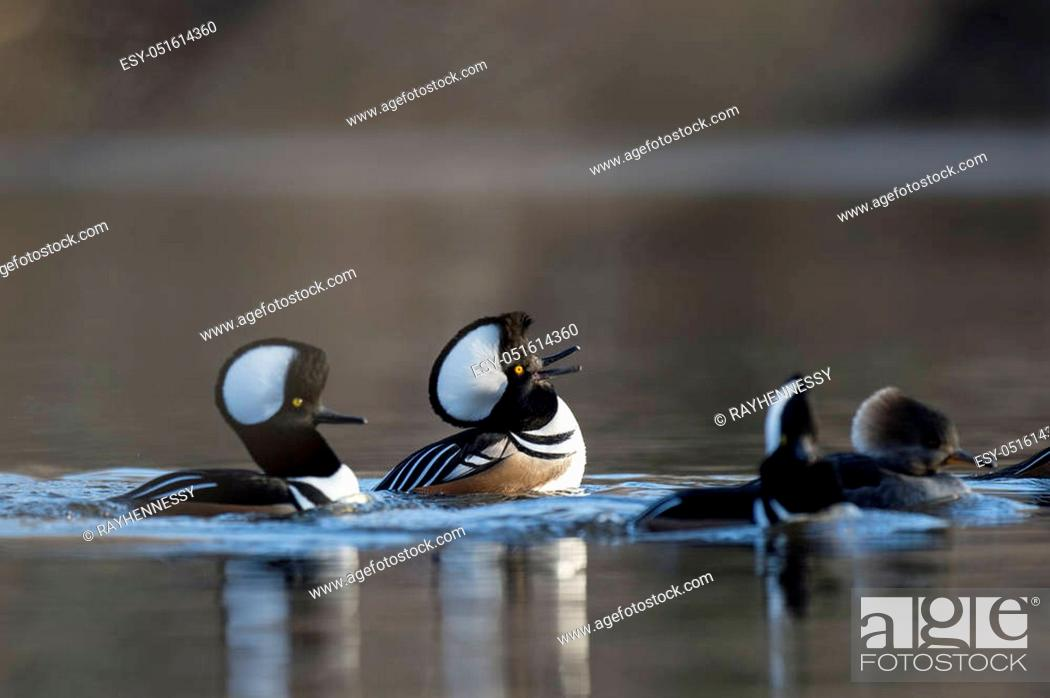 Stock Photo: A couple of male Hooded Mergansers perform courtship rituals doing their best to impress the females.