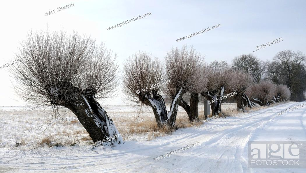 Imagen: Snowy Row of willow-tree at Tånebro, Scania, Sweden.