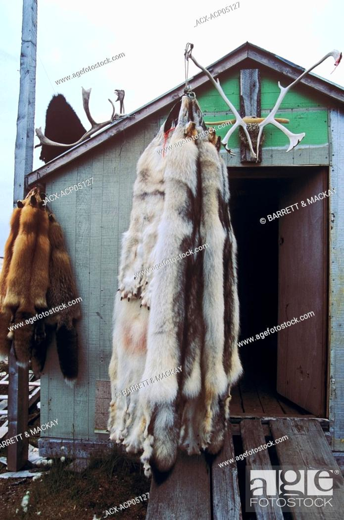 Stock Photo: Grey or Timber Wolf skins on trappers cabin, Newfoundland and Labrador, Canada.