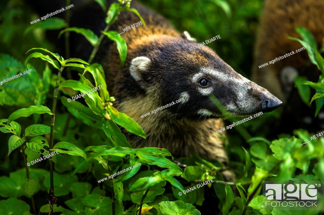 """Stock Photo: """"""""""""""""""""White-nosed coati"""""""" (Nasua narica); Members of active groups emit constant soft whining sounds. Cahuita National Park, Costa Rica."""